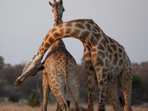 Những động vật có cách yêu quái dị nhất quả đất