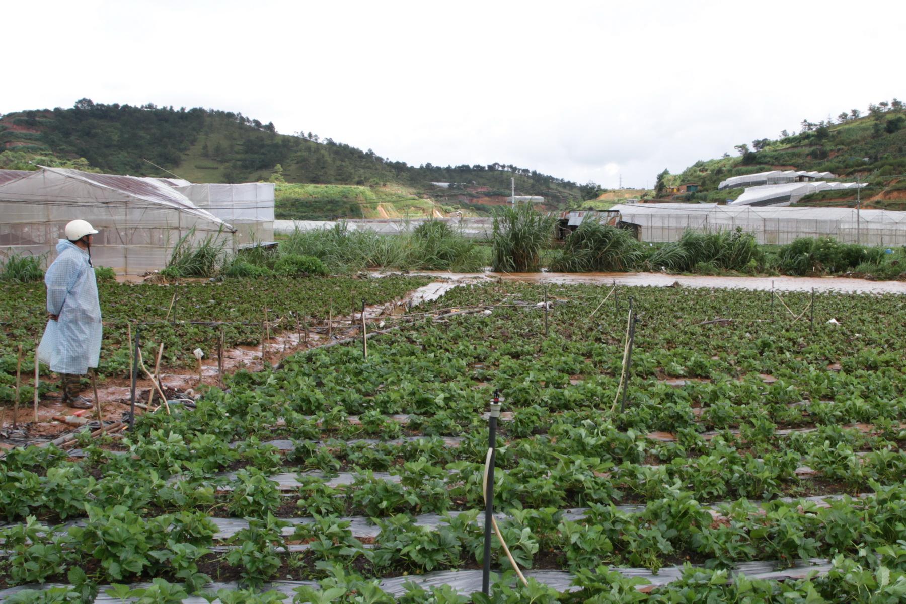 Những vườn dâu tây nát bươm sau trận mưa đá lịch sử