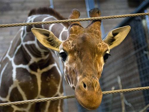 Vườn thú Đan Mạch sắp giết thêm một Marius khác