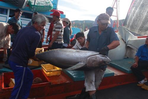 Từ lô đầu tiên đấu giá thành công, mở ra triển vọng xuất khẩu cá ngừ đại dương của Việt nam sang thị trường Nhật. Ảnh do Bidifisco cung cấp