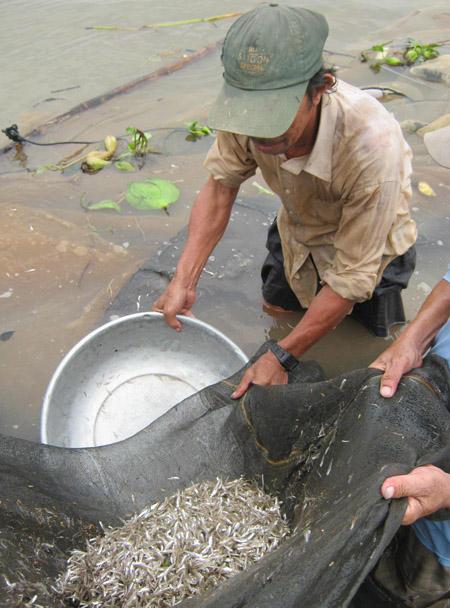 Xôn xao mùa cá mờm trên sông Vàm Nao