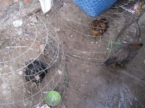 Những con gà bệnh được nhốt kế bênh lò mổ gia cầm chui