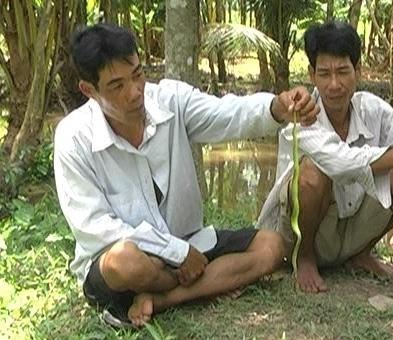 Thời gian gần đây, rắn lục đuôi đỏ thường xuất hiện cắn người tại ĐBSCL