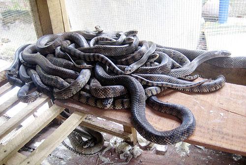 Bé S. bị rắn hổ cắn khi đang ngồi học bài
