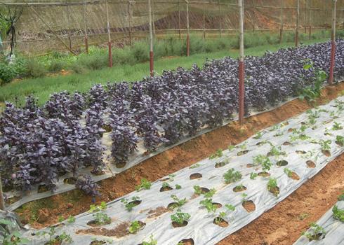 Thu nhập hàng năm từ trồng rau thơm lên tới gần 2 tỉ đồng. Ảnh: Vnexpress