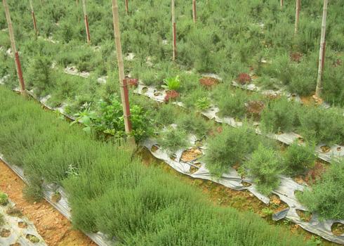 Rau thơm có nguồn gốc từ Pháp trong vườn nhà bà Cúc. Ảnh: Vnexpress