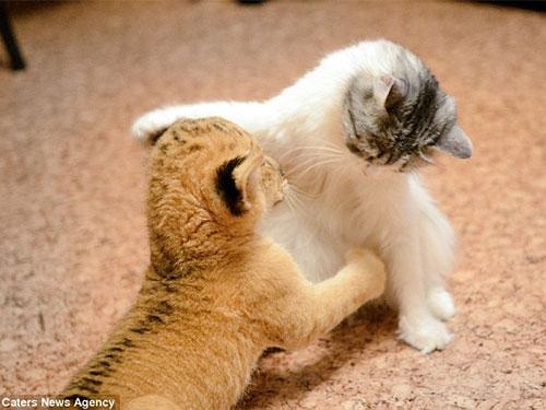 Ấm áp mẹ mèo yêu sư tử con