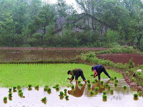 Đất trồng trọt Trung Quốc bị ô nhiễm dẫn đến mối lo về vệ sinh an toàn thực phẩmẢnh: AP