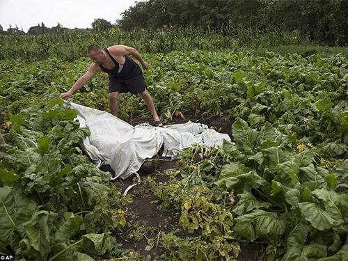 Một người Ukraine che phủ thi thể trên cánh đồng gần nơi máy bay MH17 rơiẢnh: AP