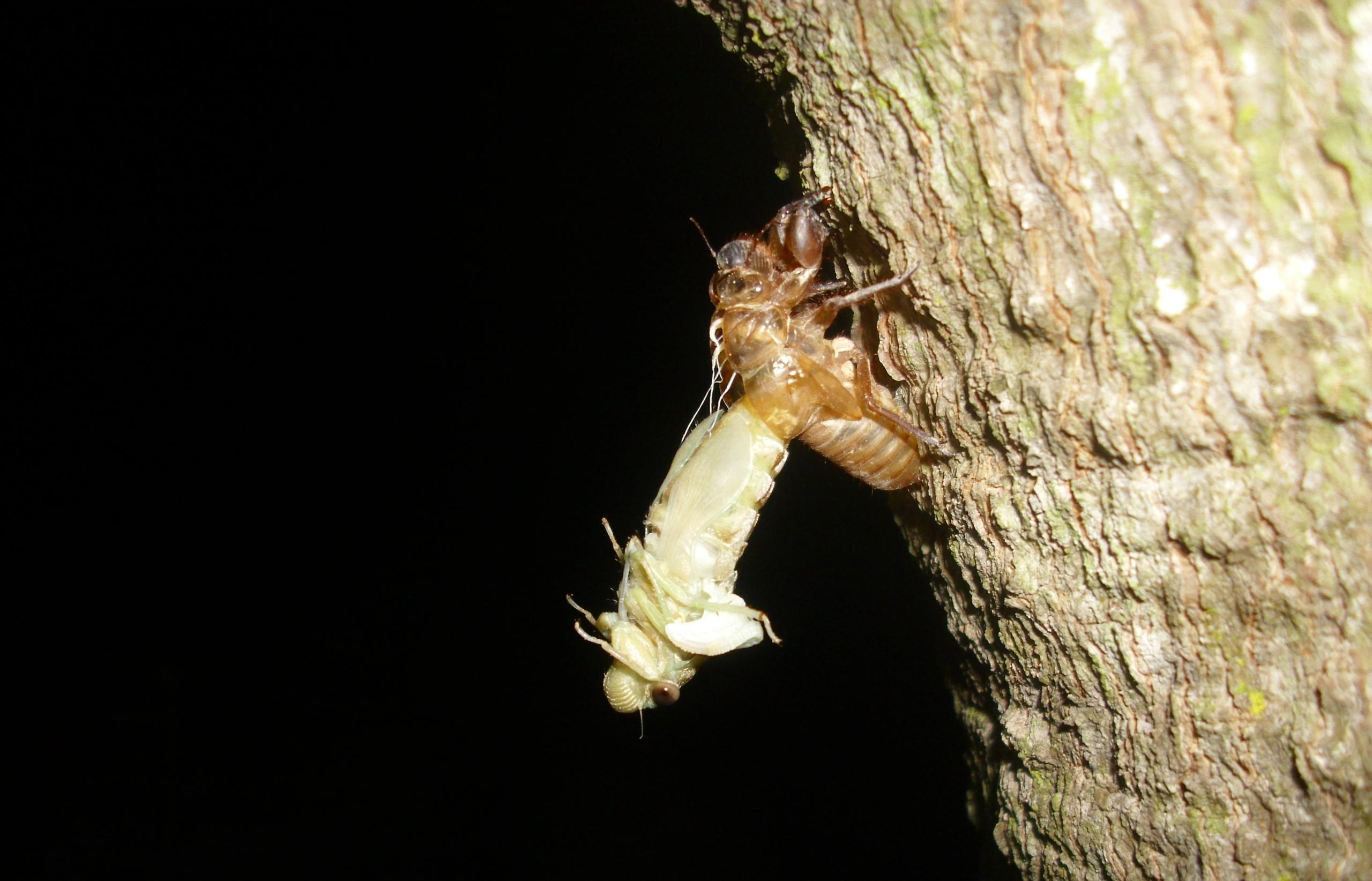 Ve sầu bò lên thân cây điều để thoát xác.