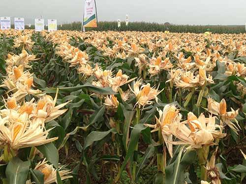 Sắp tới, giống bắp biến đổi gien sẽ được trồng thử nghiệm. Trong ảnh: Ruộng bắp lai ở huyện Anh Sơn, tỉnh Nghệ An Ảnh: Đỗ Hương