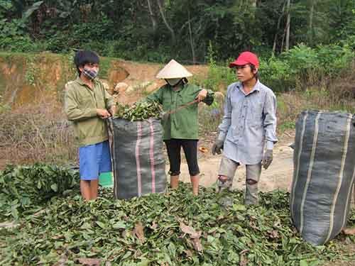 Người dân xã Chi Khê, tỉnh Nghệ An thu gom lá cây cò ke bán cho thương lái Trung Quốc  Ảnh:  ĐỨC NGỌC