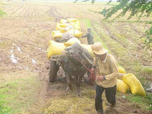 Vụ lúa đông xuân 2013-2014, nông dân ĐBSCL trúng mùa nhưng giá bấp bênhẢnh: THANH VÂN