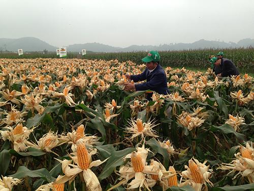 Một ruộng bắp biến đổi gien trên đồng ruộng miền Trung. Ảnh: Đỗ Hương