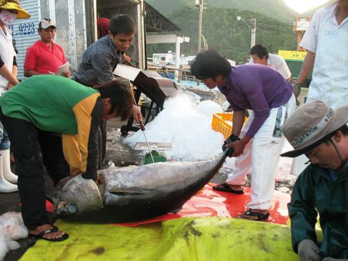 Bảo đảm vệ sinh cá ngừ phải được thực hiện từ khâu đầu tiên