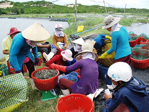Gom tôm nguyên liệu tại huyện Đông Hòa, tỉnh Phú Yên để bán cho thương lái Trung Quốc hồi tháng 9-2013.Ảnh: HỒNG ÁNH
