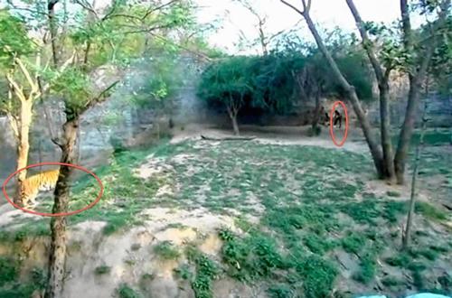 Nam sinh viên Ấn Độ nhảy vào chuồng trêu cọp