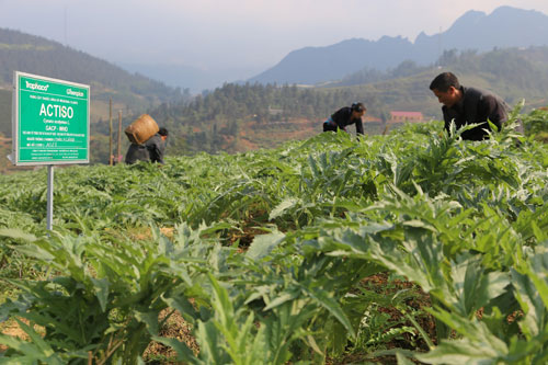 Vùng trồng Actiso đạt chuẩn GACP-WHO của Traphaco tại Lào Cai