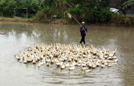 Tập quán nuôi vịt chạy đồng của bà con nông dân sẽ khiến cúm gia cầm có nguy cơ lây lan