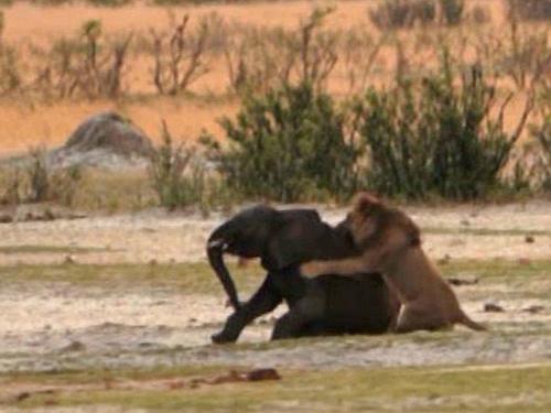 Voi con đi lạc thành mồi ngon cho sư tử