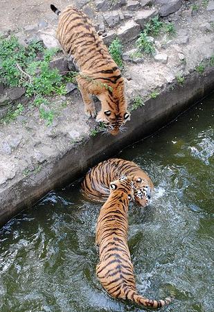 Hổ Siberia ở sở thú Nikolaev. Ảnh: ENS
