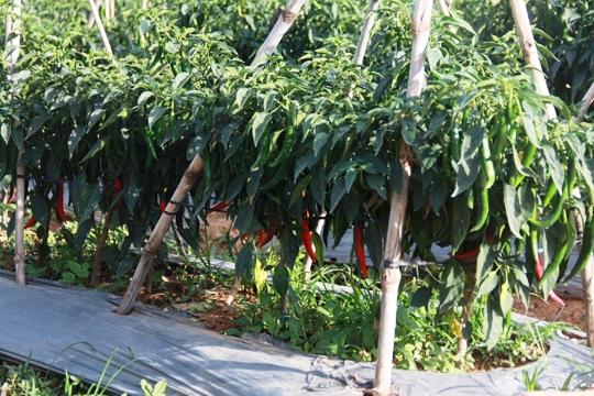 Giá ớt ở Lâm Đồng bất ngờ tăng vọt lên 30.000 đồng/kg