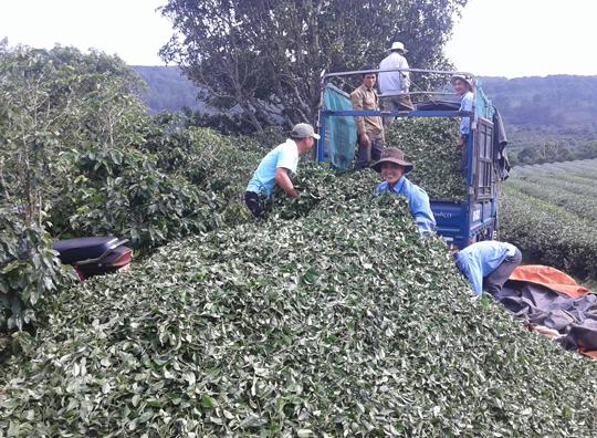 Người nông dân thu hoạch chè tại xã Xuân Trường, TP Đà Lạt