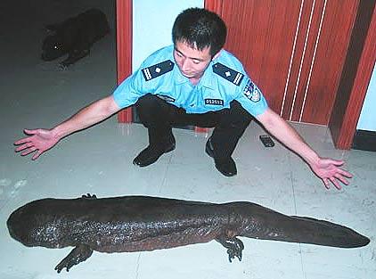 Kỳ giông khổng lồ Trung Quốc đứng trước nguy cơ tuyệt chủng. Ảnh: Fact Zoo