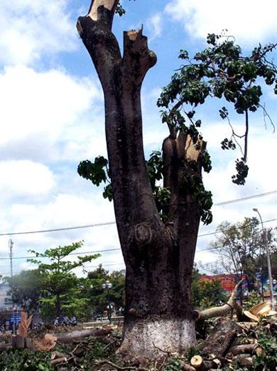 Một cây vông cổ thụ bị chặt hạ ở TP Kon Tum năm 2012 Ảnh: TRẦN NGUYÊN