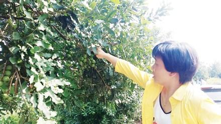 GS Hoàng Hòe, chuyên gia về mắc ca ở Việt Nam tìm hiểu kỹ lưỡng giống mắc ca Trung Quốc.
