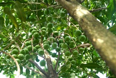 Chuyên gia Úc cho rằng Việt Nam cần tránh lặp lại sai lầm của Trung Quốc khi trồng mắc ca, đặc biệt cần kiểm soát chặt việc chọn giống cây này