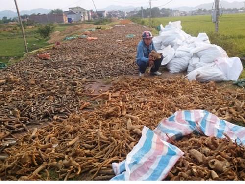 Thương lái tại H.Quỳ Hợp (Nghệ An) phơi cây dược liệu trước khi xuất sang Trung Quốc - Ảnh: K.Hoan