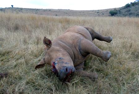 Loài tê giác đang đứng trước nguy cơ tuyệt chủng vì nạn săn bắt lấy sừng của con người