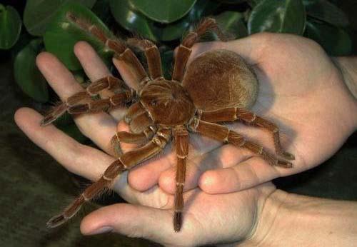 Những loài nhện khổng lồ nhất hành tinh - 10