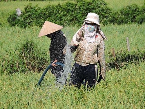Người dân ở huyện đảo Lý Sơn ngày đêm tưới nước để cứu cánh đồng tỏi Ảnh: VĂN MỊNH