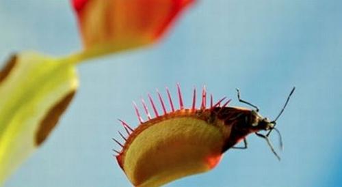 """Điểm danh các loài hoa ăn thịt có vẻ đẹp """"chết người"""""""