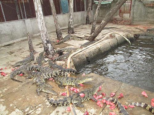 Nuôi cá sấu luôn tiềm ẩn rủi ro do phụ thuộc thị trường Trung Quốc
