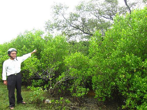 Dãy rừng ngập mặn hàng trăm năm tuổi vẫn được ông Nhì cùng bà con thôn Đông Xuân gìn giữ