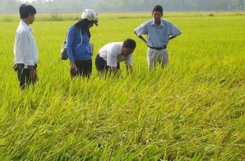 Cán bộ kỹ thuật theo dõi đồng ruộng trồng lúa Nhật ở An Giang Ảnh: NGỌC TRINH