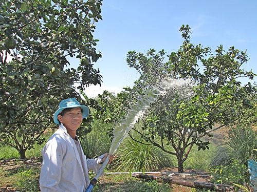 Các chủ trang trại là đối tượng được vay vốn theo nghị định mới của Chính phủ. Trong ảnh: Chủ một trang trại ở TP HCM đang chăm sóc bưởi da xanh  Ảnh: NGỌC ÁNH