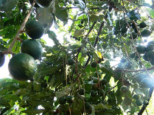 """Cây mắc ca cho quả """"khủng"""" tại vườn nhà  ông Nguyễn Đức Ba"""