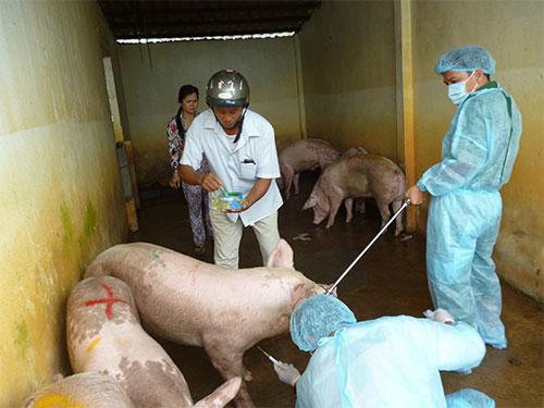 Tình trạng lạm dụng kháng sinh, chất cấm thường xảy ra khi giá thịt tăng. Trong ảnh: Lấy mẫu xét nghiệm trước khi giết mổ heo