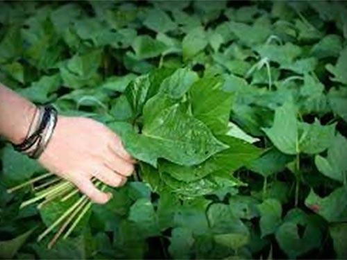 Lá khoai lang cũng có nhiều thành phần dinh dưỡng như củ khoai Ảnh: IMGKID