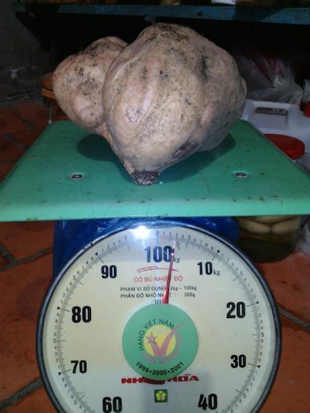 Củ khoai lang nặng 3 kg