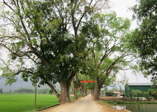 Hàng cây xà cừ gần 100 năm tuổi được người dân và chính quyền xã Tân Ninh, huyện Triệu Sơn, tỉnh Thanh Hóa bảo vệ Ảnh: TUẤN MINH
