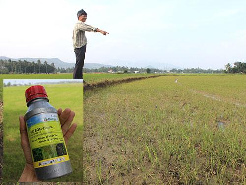 Lúa trên cánh đồng Thầy Ôn trơ gốc và chai thuốc diệt cỏ nghi làm lúa chết hàng loạt (ảnh nhỏ)