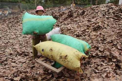 Nhiều người dân thu gom lá ở vườn bất chấp việc làm này gây hại rất nhiều cho cây trồng. Ảnh: Hoàng Trường