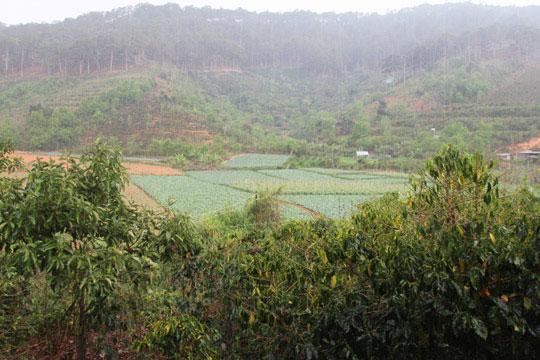 """Cơn """"mưa vàng"""" chiều 5-4 cứu nhiều nhà vườn ở TP Đà Lạt"""