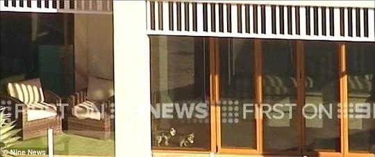 Cặp chó tại nhà thuê của Johnny Depp ở Úc