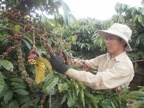 """Người trồng cà phê đang găm hàng giữ giá và muốn """"làm chủ"""" giá mặt hàng này trên thị trường thế giới như đã từng làm được với hồ tiêu Ảnh: CAO NGUYÊN"""